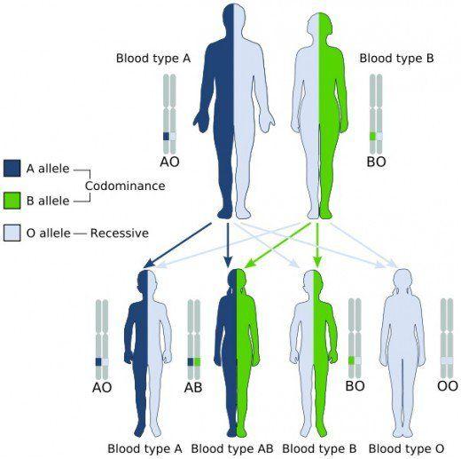 ABO Blood Type Inheritance