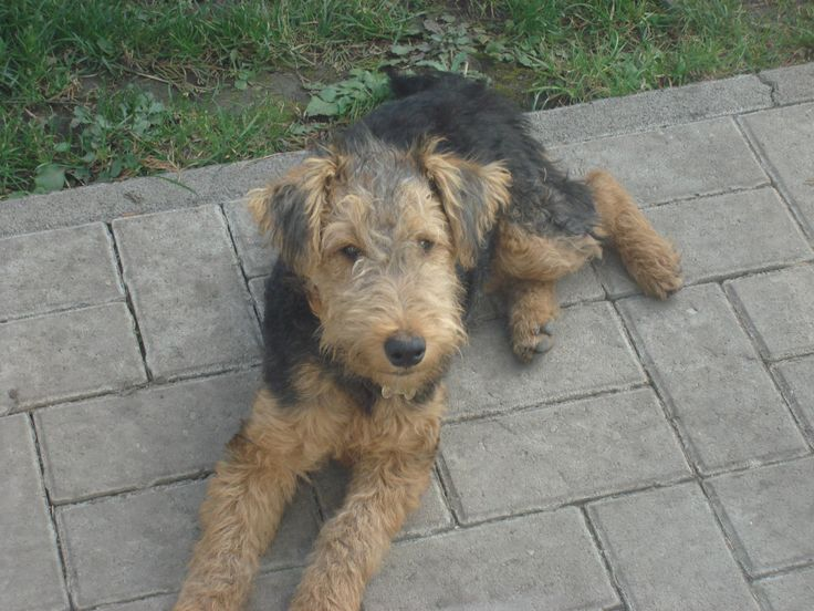Zizi was 6 mouths old.  Zizi was happy :D  Welsh terrier puppy