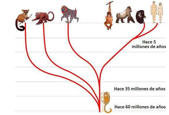 Los humanos somos animales mamíferos del orden de los primates, grupo que se originó hace 60 m.a.  Los primeros eran pequeños, insectívoros y arborícolas. Hace entre 20 y 25 m.a. se originó la familia de los póngidos (grandes simios antropomorfos, gorila, chimpancé y orangután) y posteriormente la familia de los homínidos (que agrupa a los primates humanos, Australopithecus y Homo) Los humanos actuales, Homo sapiens, somos los únicos homínidos vivos.