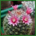 Buy Mammillaria scheidweileriana - 20 Seed Pack - Verified Seller - Exotic Succulent Cactus - NEW