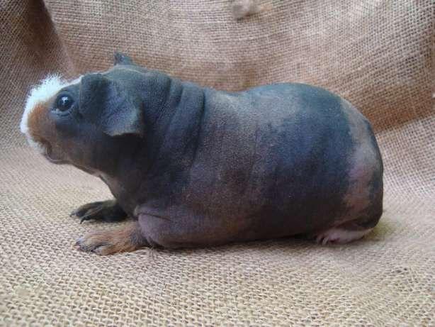 Морская свинка ,породы скинни,самец Луганськ - зображення 1