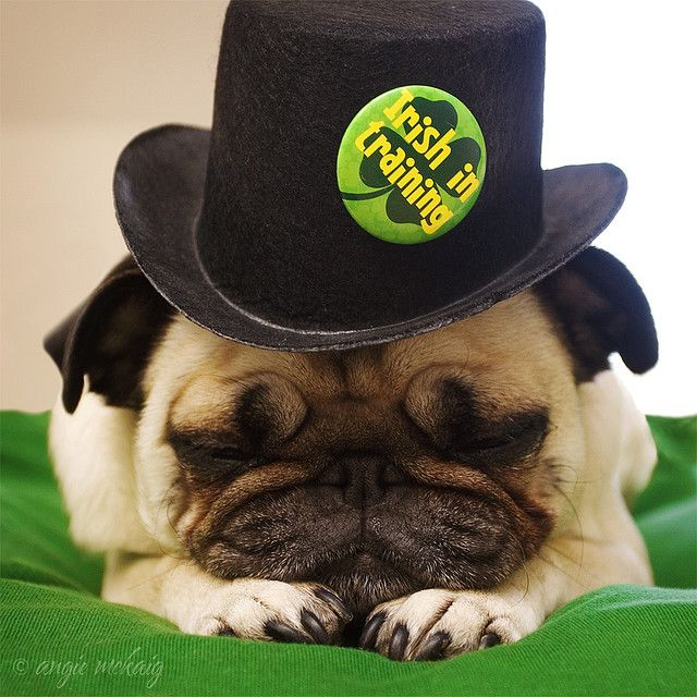 St. Patty's Pug....everyone is Irish on 3/17, even the Chinese Pug