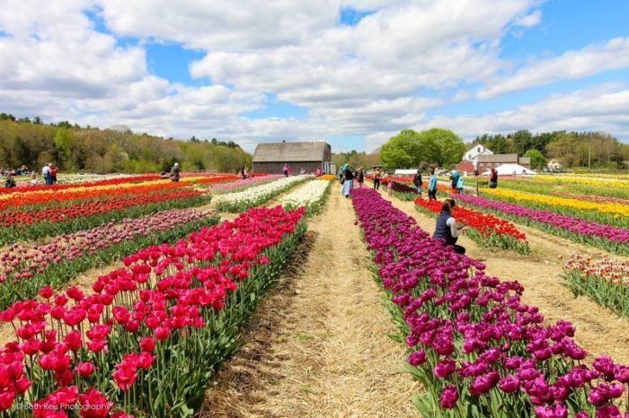 The Enchanting Tulip Farm In Rhode Island You Must Visit This Spring Flower Farm Tulips Tulips Flowers