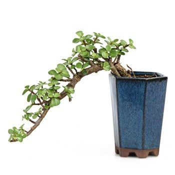 Bonsai - Jade Bonsai Tree from EasternLeaf.com; The Jade bonsai is a evergreen succulent.
