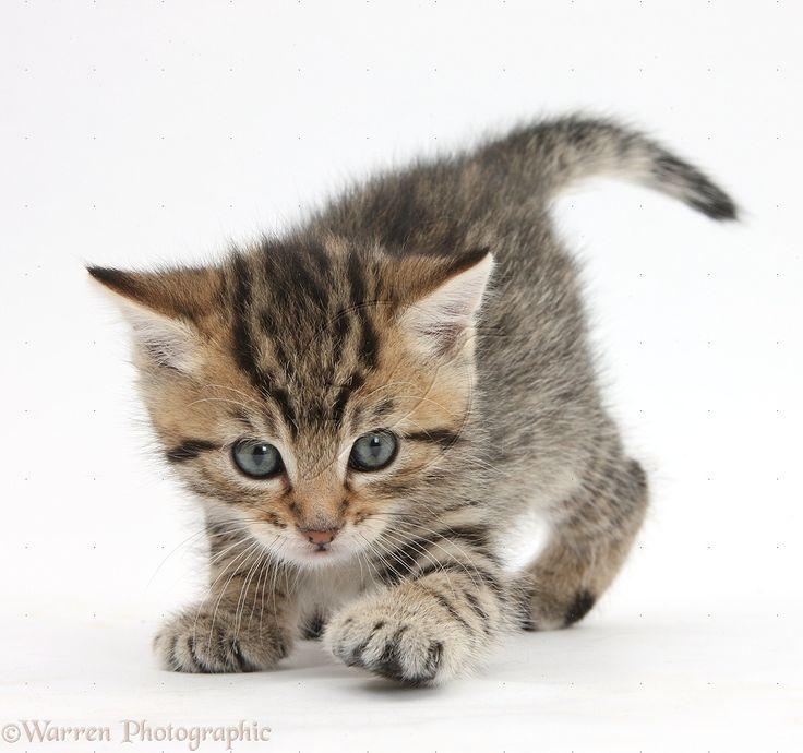 Wp35570 cute tabby kitten stanley 6 weeks old ImgStocks