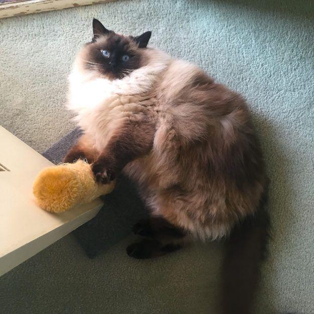 Pin On Ragdoll Cats