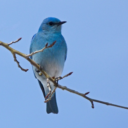 Mountain Bluebird / Sialia currucoides (by annkelliott)