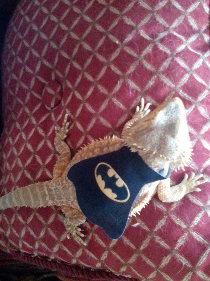Lil' Bestie Batman Cape for Bearded Dragons in Reptile Supplies   eBay