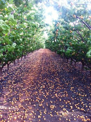 Simmone Logue: Apricot Season!