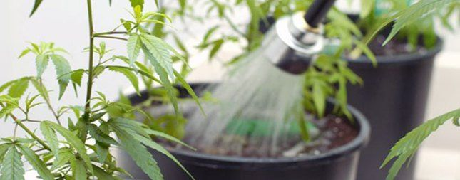 what is flushing marijuana plant