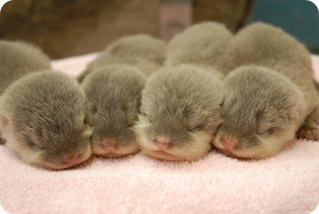 What's cuter than baby otters? SLEEPING BABY OTTERS!