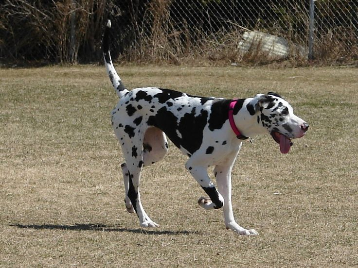 1000+ images about Great Dane on Pinterest | Harlequin ...