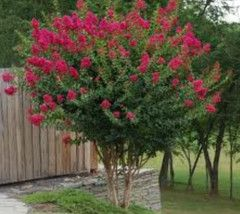 Tuscarora Crape Myrtle Lagerstroemia indica x fauriei 'Tuscarora' Deciduous large shrub or small tree with profuse crepe-like coral-pink flowers from late June to September. Exquisite orange-red folia