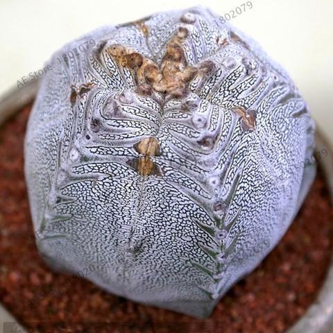 200 Rare Mix Lithops Seeds Living Stones Succulent Cactus Organic Garden Bulk Seed,bonsai seeds for indoor succulent plants