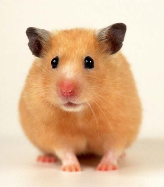 cute hamsters for sale - Google Search