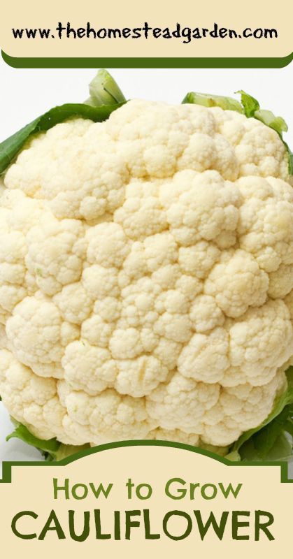 The Homestead Garden | How to grow cauliflower | #prepbloggers #garden #growyourown