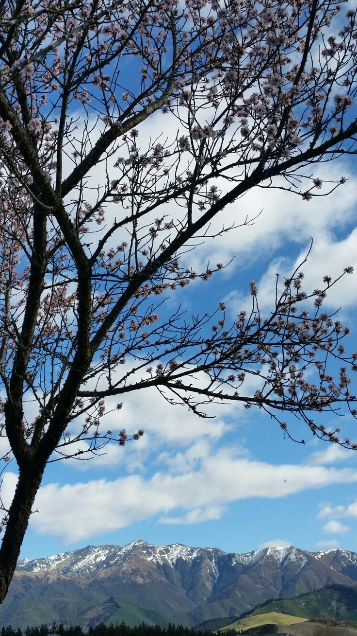 #hanmersprings #snowcap #southernalps #springblossoms #nz