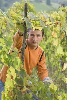 Pruning an old, overgrown grapevine requires a form of severe pruning that removes about 90 percent of the plant's total growth. Severe pruning directs the plant's roots toward ...