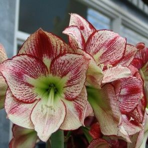 amaryllis flamenco queen xxl amaryllis bulbs pinterest. Black Bedroom Furniture Sets. Home Design Ideas