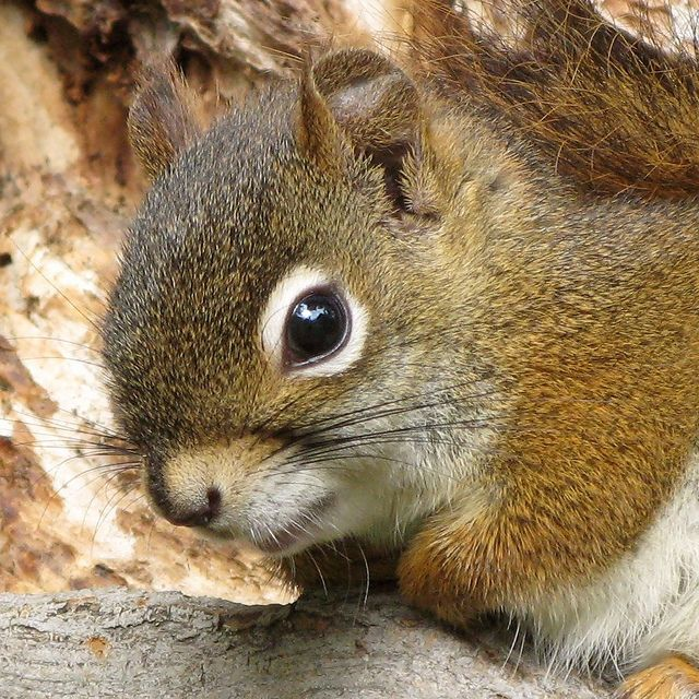 Écureuil roux d'Amérique -- North American Red Squirrel (Portrait) by Gilles Gonthier, via Flickr. This Flickr set has hundreds of beautiful images of red squirrels. If you're a fan of beautiful squirrels and expert photography, please follow this link: http://www.flickr.com/photos/gillesgonthier/sets/72157603917242003/with/5087448094/