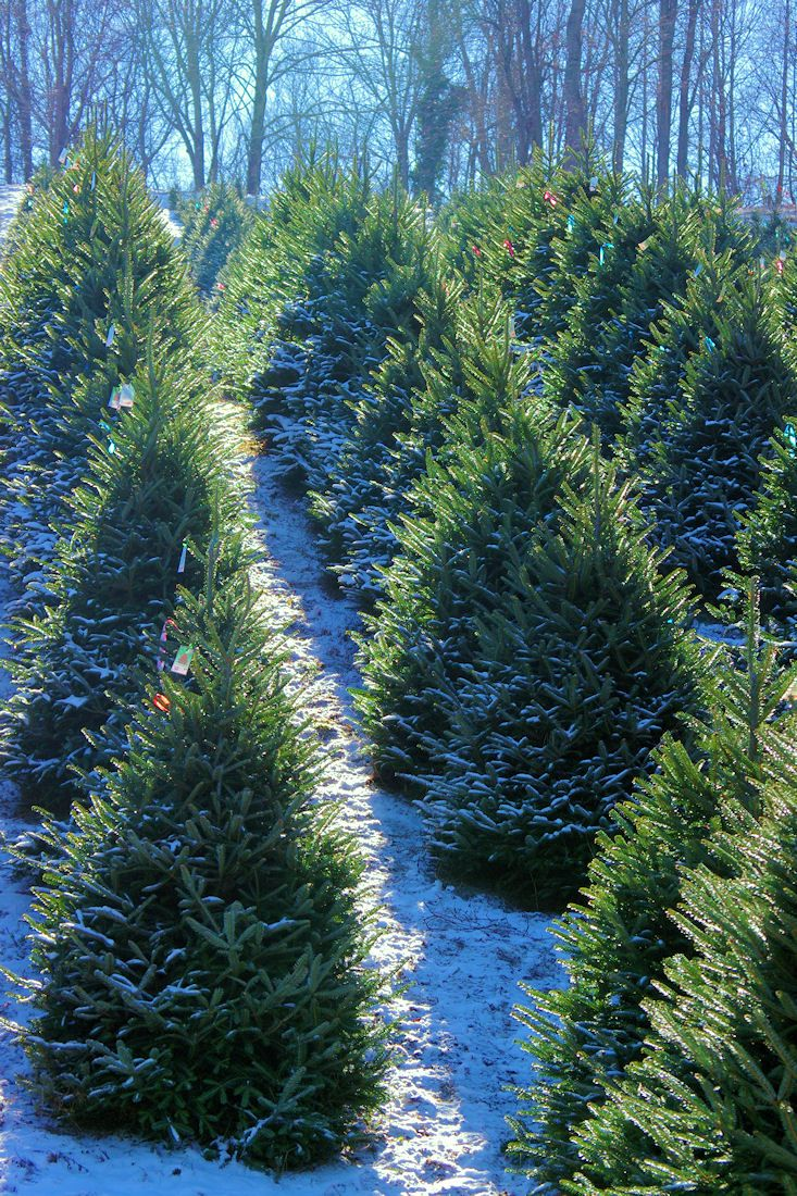 Fraser firs at Christmas Tree farm near Asheville, North Carolina