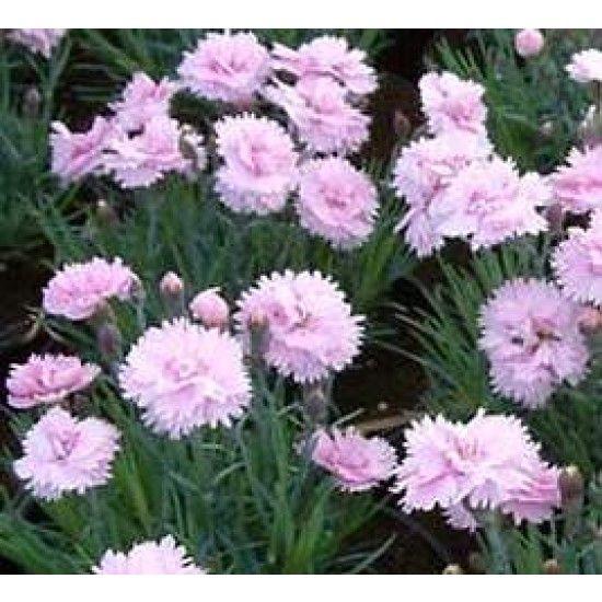 Tollas szegfű - Dianthus plumarius Pike's Pink