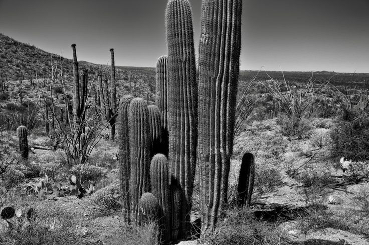 thor_mark  posted a photo:  Another noted location I was informed about from park rangers while walking the Garwood Trail in Saguaro National Park.I can't recall the exact number that the park rangers had mentioned, but looking at the image, there appears to be at least ten saguaro cactus. For the image, I decided to convert to black & white with Silver Efex Pro 2 as I found it really brought a rich tonal contrast across the desert landscape. While the focus was on this one large grove of…