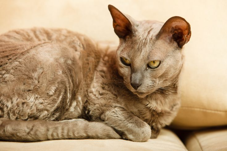 Dementia in older cats, symptoms, signs and how to help car for your cat.