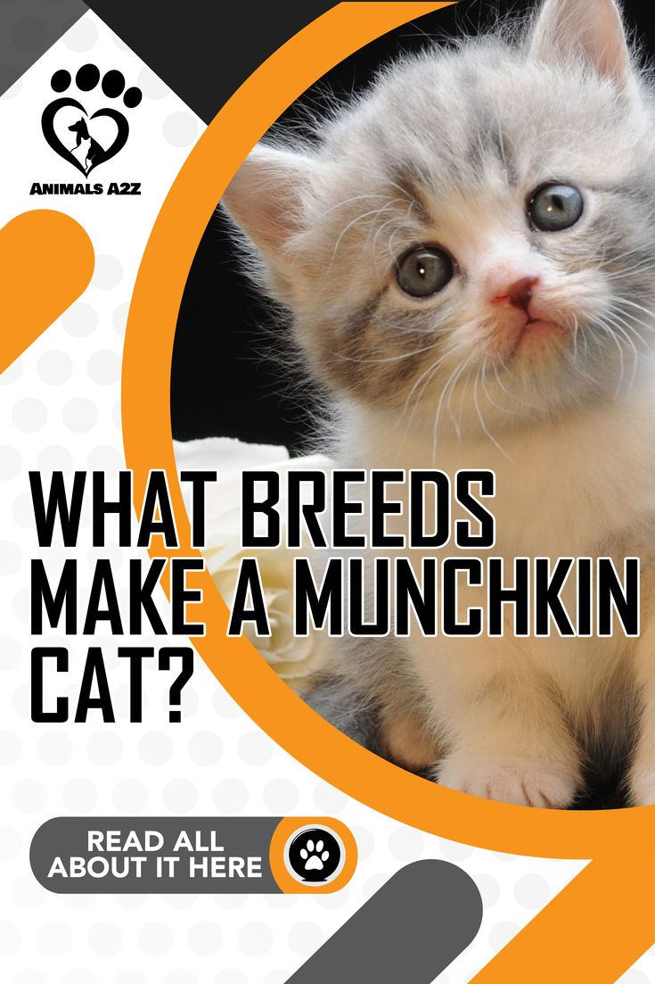 What Breeds Make A Munchkin Cat Cat Facts In 2020 Munchkin Cat Cat Facts Bambino Cat