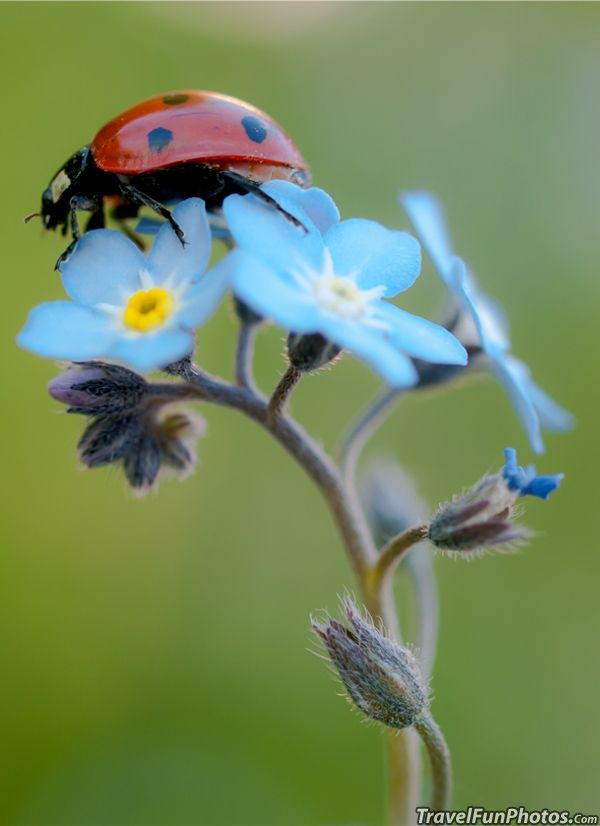 Ladybird or Ladybug On Pretty Blue Forget-Me-Not Flower - Broxbourne, England