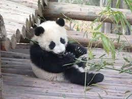 Afbeeldingsresultaat voor schattige panda's
