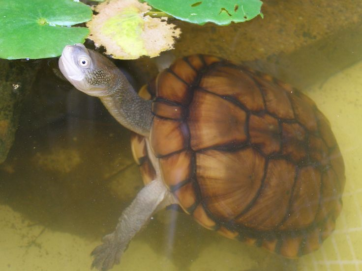 Long necked tortoise Photo D Wilks