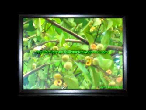 Bibit gaharu (Aquilaria malaccenis) anakan,biji Nanga Bulik 081251826868