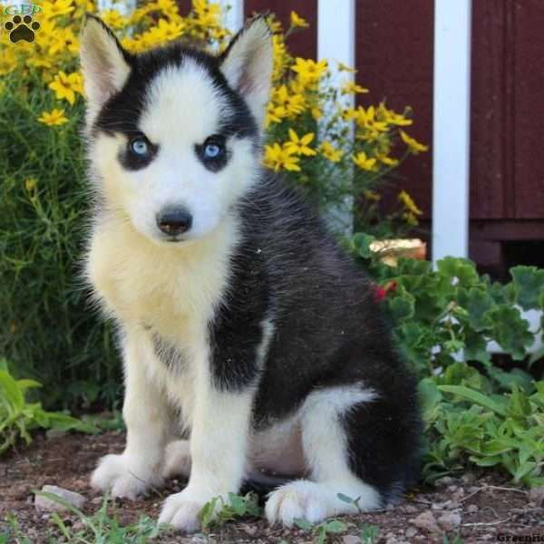 Nathan is a sweet Siberian Husky puppy with a curious nature. This beautiful pup can be registered with the ACA, is up to date on shots and wormer, plus comes with a health guarantee provided by the breeder. Nathan, with his striking blue eyes, has adistinct personality and is sure to make a great addition to any family.To find out how you can welcome home this fun-loving pup, please contact Wayne today! Price listed does not include 6% sales tax