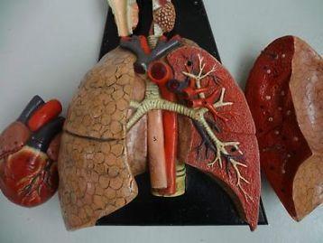 ≥ Antiek Anatomisch Model hart longen gothic