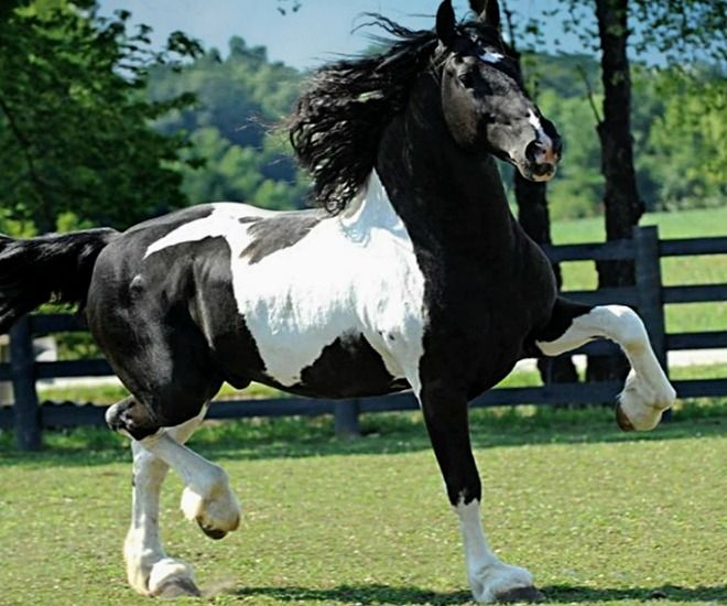 Black And White Paint Horses For Sale In Nc