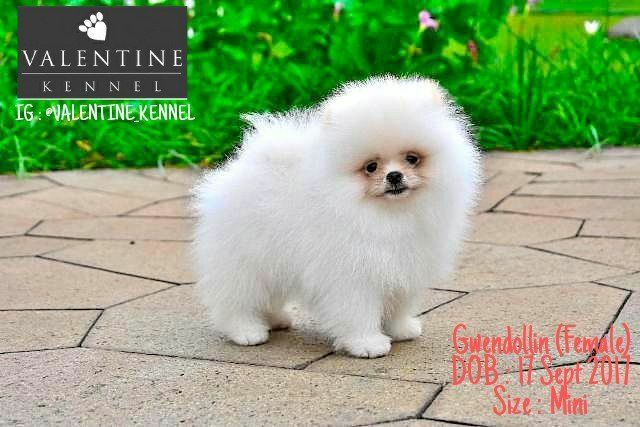 Dijual Anjing Pomeranian Jual 4 Ekor Pom Snow Anak Import Lokasi
