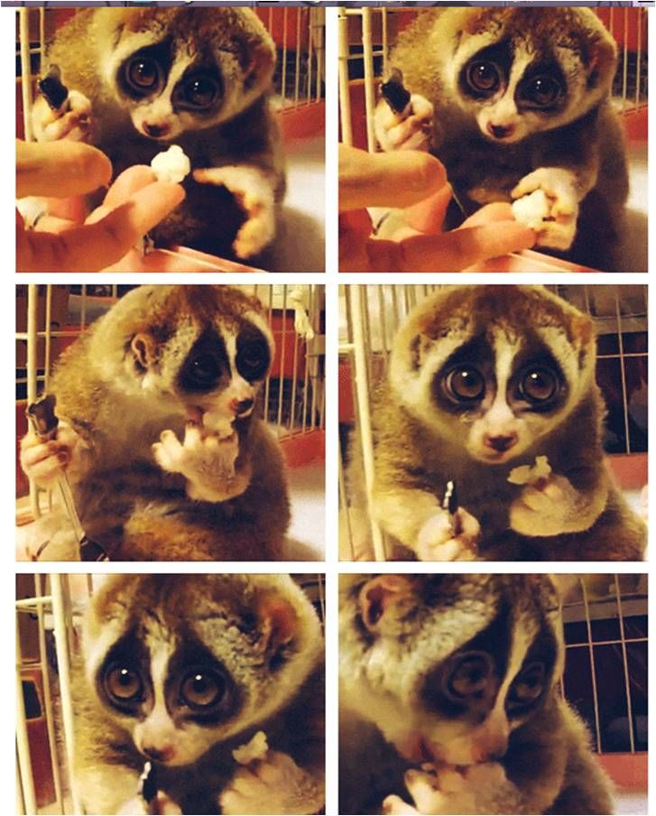 "Oh. My. Word. Click through to see 6 gifs of a ""Slow Loris Eating Rice.""  Quite possibly the single cutest thing on the Internet. The grip on the fork...the delicate nibbles...the tongue...those EYE ROLLS!!!! Dying of cute!"