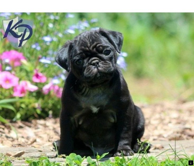 Click The Link For More Cheap Pugs For Sale Near Me Follow The