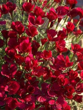Dianthus deltoides Zing Rose Pinks | Perennial Sale Pink ...
