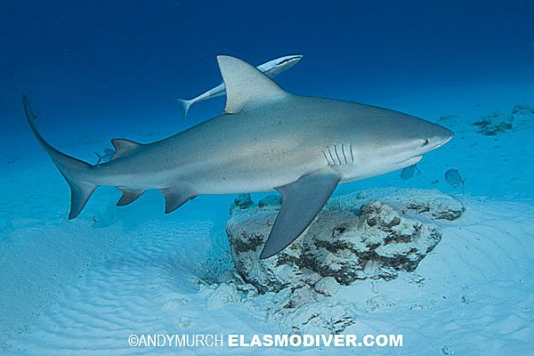 Bull shark (Carcharhinus leucas)  STOP EATING SHARK'S FIN SOUP