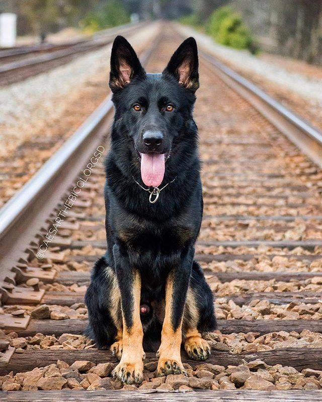 The Traits We Admire About The Intelligent German Shepherd Puppy