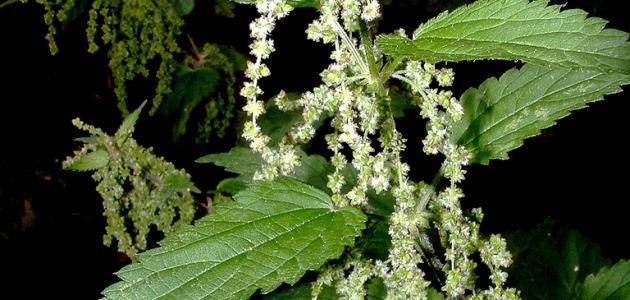 فوائد نبات القراص Herbs