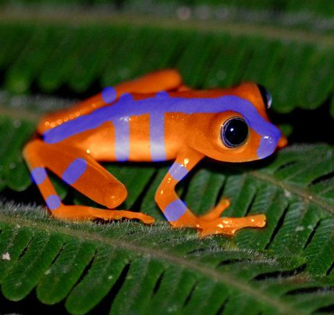 blue red eyed tree frogs - Google Search