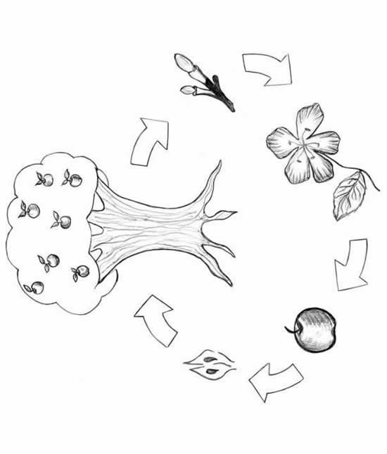 apple tree life cycle coloring page