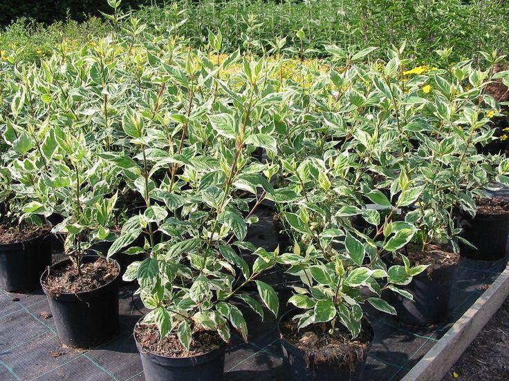 cornus alba sibirica variegata planten voor mijn tuin. Black Bedroom Furniture Sets. Home Design Ideas