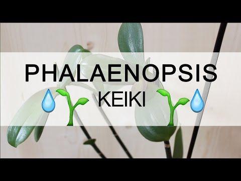 Orchidea Phalaenopsis - Keiki - YouTube