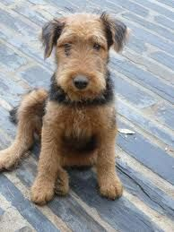 Airedale Terrier, Puppy.....awwwww