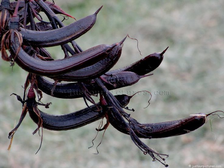 This is seed pods of the Phormium tenax (NZ Flax) | SEEDS ...