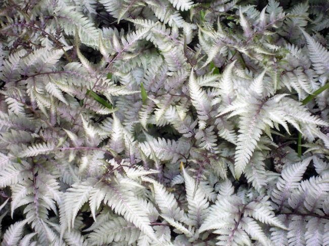 Besondere sch nheit regenbogenfarn bl tter wechseln ihre for Besondere topfpflanzen